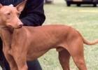 Il Cirneco dell'Etna: il cane del Parco dell'Etna