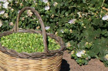 la festa del cappero in fiore di Salina